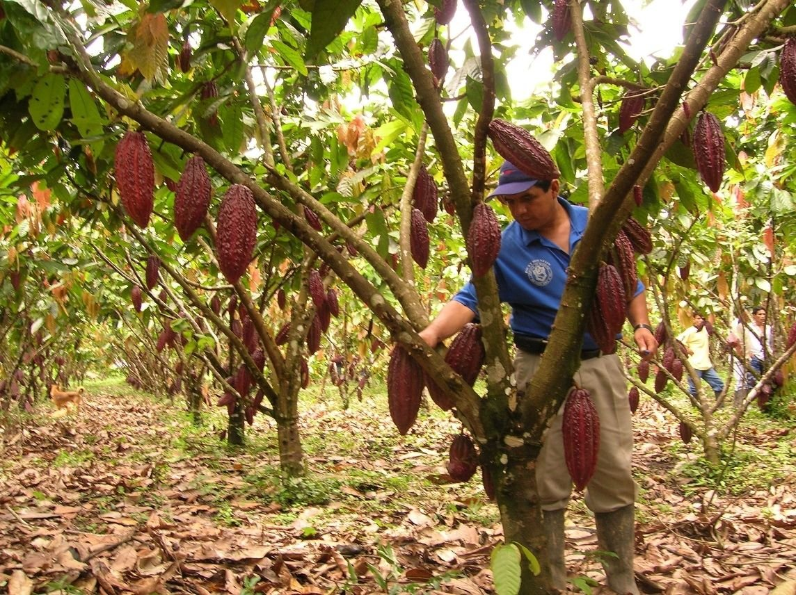 Peru Converts Coca-growing Areas into Productive Projects