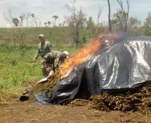 Paraguay, Brazil Destroy Nearly 500 Tons of Marijuana