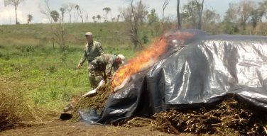 Paraguai e Brasil destroem quase 500 toneladas de maconha