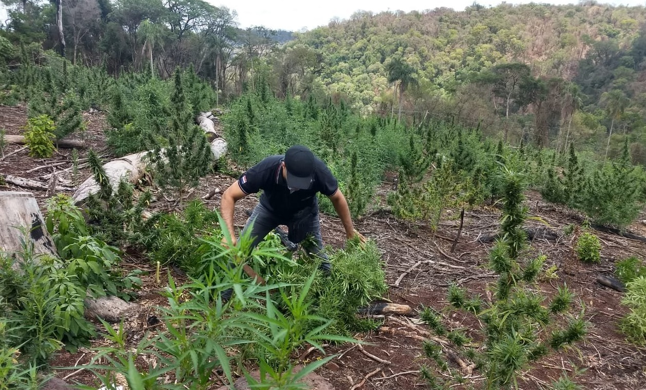 Paraguay: SENAD Destroys Marijuana Production Centers in Protected Forests