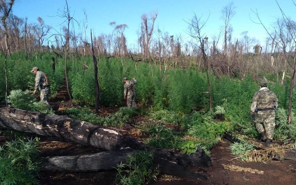 Paraguay: agentes eliminan casi 60 toneladas de marihuana