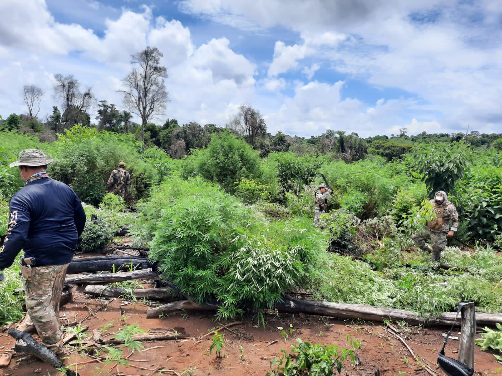 Paraguai: SENAD destrói mais de 24 toneladas de maconha
