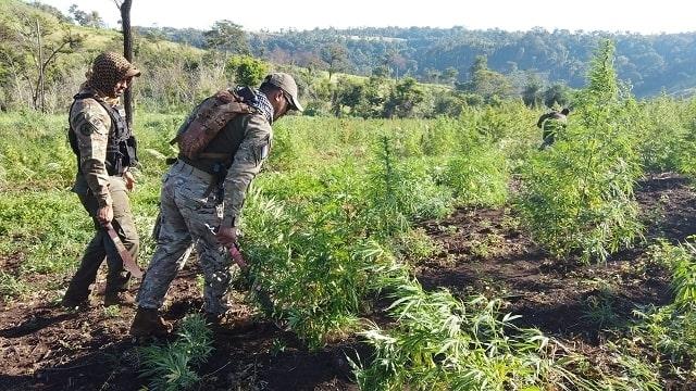 Paraguai: agentes antinarcóticos destroem quase 1,5 tonelada de maconha