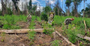 Paraguay: 346 toneladas de marihuana destruidas