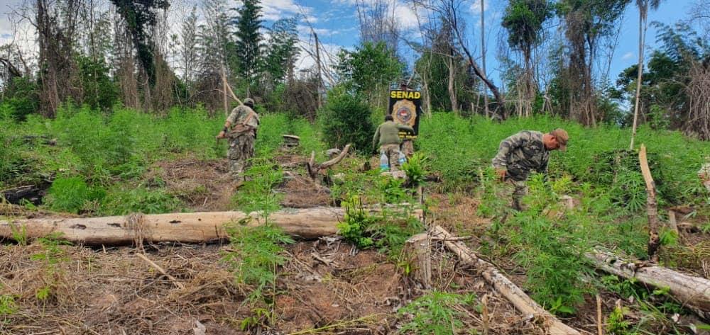 Paraguai: 346 toneladas de maconha destruídas