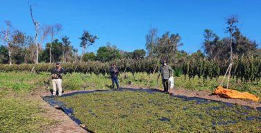 Efectivos antidrogas de Paraguay decomisan más de 18 toneladas de marihuana